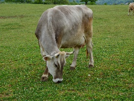 Cattle farm- Organic zootechnics- Selling of organic meat Roma Viterbo Lazio Umbria